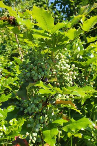 Tall-Oregon-Grape-Wisdom-Internship-Ecological-Knowledge-Day